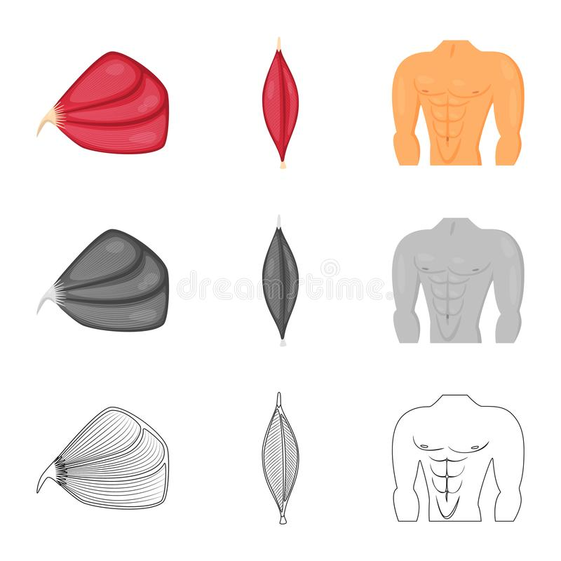 Vector illustration of fiber and muscular logo. Set of fiber and body stock symbol for web. Isolated object of fiber and muscular icon. Collection of fiber and royalty free illustration