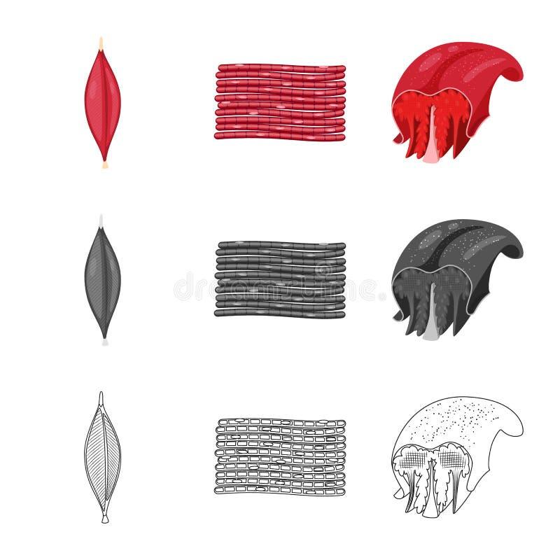 Vector illustration of fiber and muscular logo. Collection of fiber and body stock vector illustration. Isolated object of fiber and muscular icon. Set of fiber stock illustration