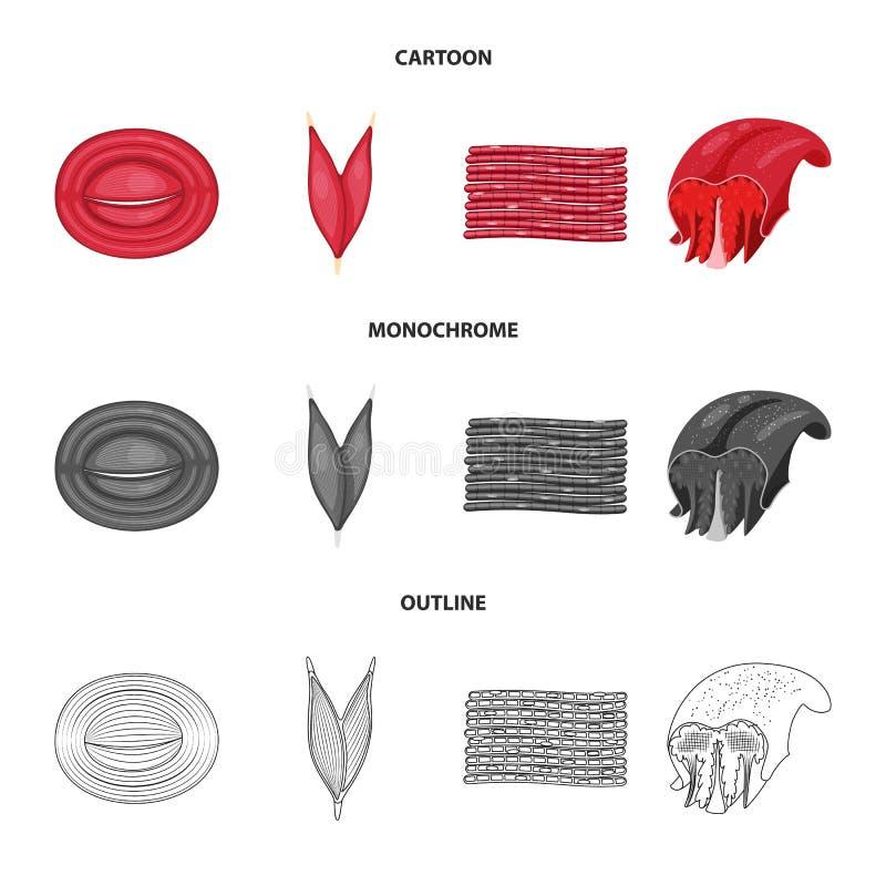 Vector illustration of fiber and muscular symbol. Set of fiber and body stock vector illustration. Isolated object of fiber and muscular sign. Collection of royalty free illustration