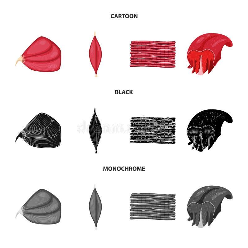 Vector illustration of fiber and muscular symbol. Collection of fiber and body stock symbol for web. Isolated object of fiber and muscular sign. Set of fiber royalty free illustration