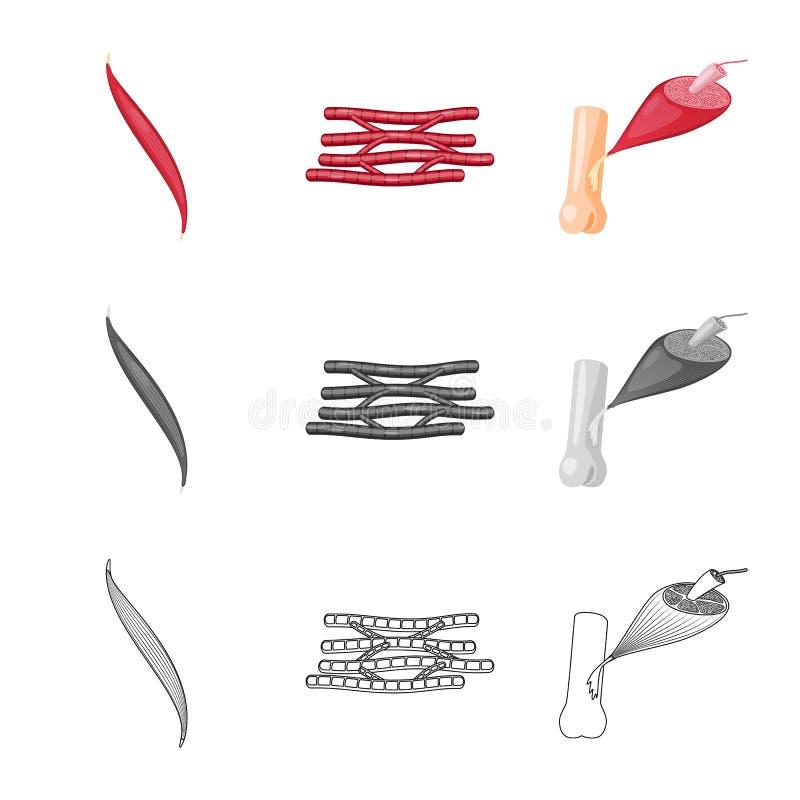 Vector illustration of fiber and muscular symbol. Collection of fiber and body stock symbol for web. Isolated object of fiber and muscular sign. Set of fiber stock illustration