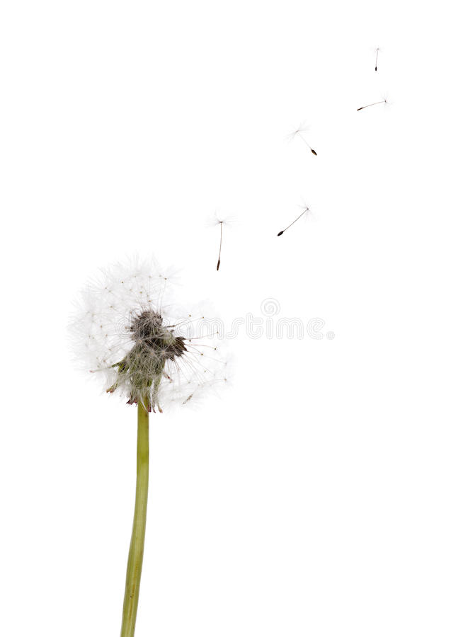 Free Isolated On White Dandelion Seeds And Plant Stock Photo - 44938640