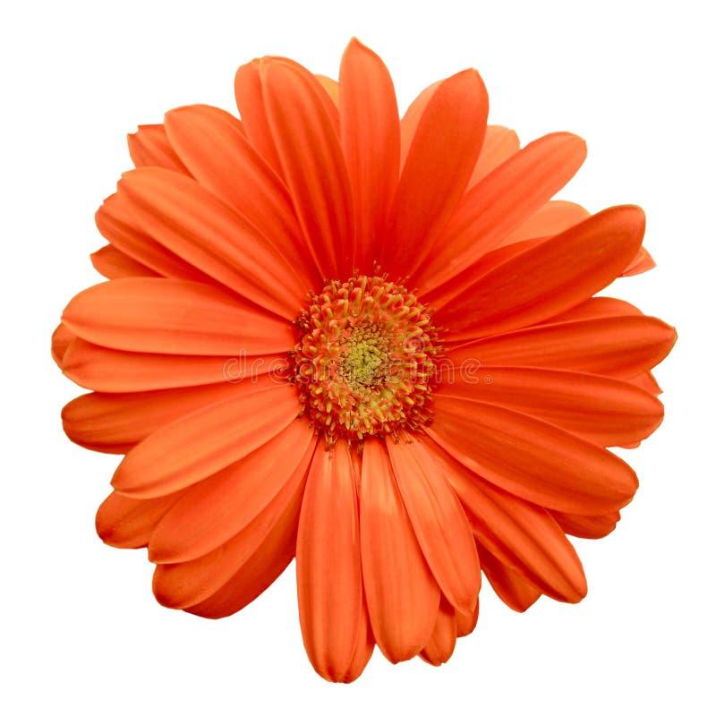Free Isolated Orange Gerbera Daisy Royalty Free Stock Photo - 26590385