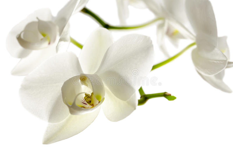 Isolated Orchid Flower Royalty Free Stock Photo