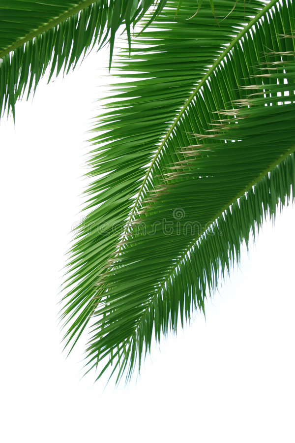 Isolated palm branch stock photo