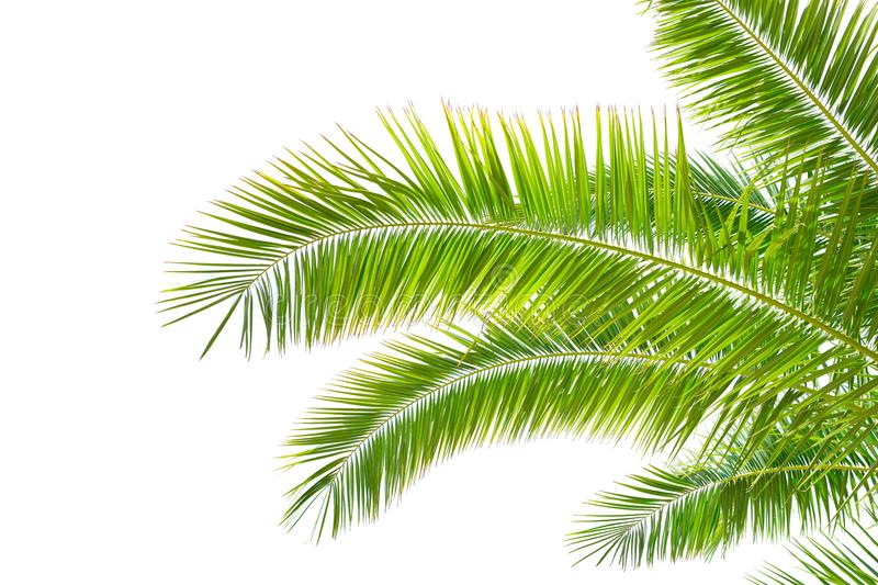 Isolated Palm leaves on white background royalty free stock photography