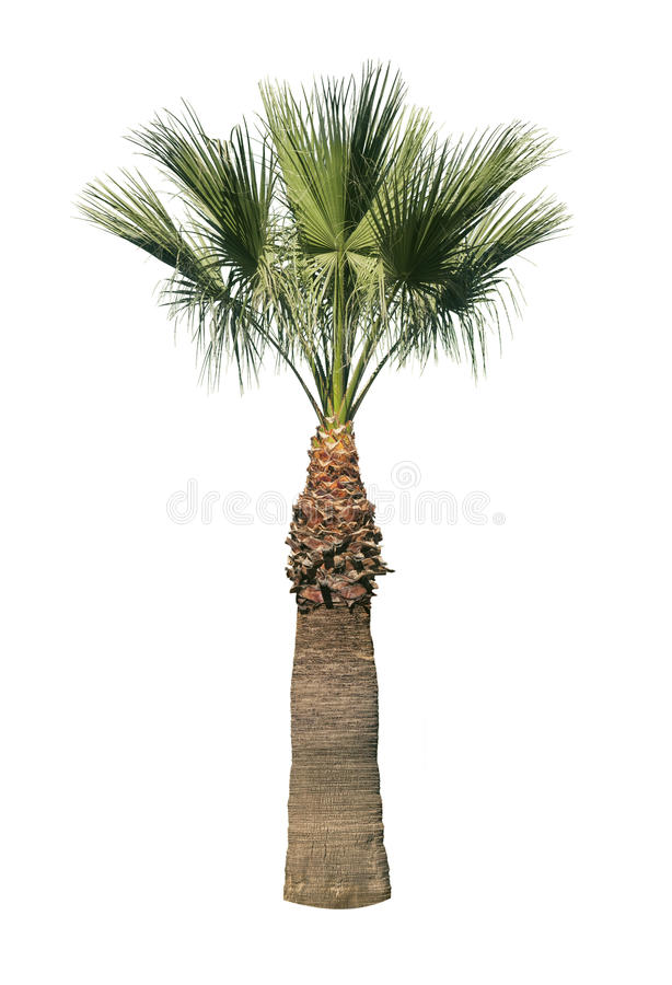 Isolated palm tree stock photos