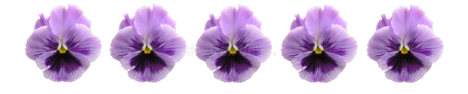 Download Isolated Pansy Bar stock illustration. Image of beautiful - 423148
