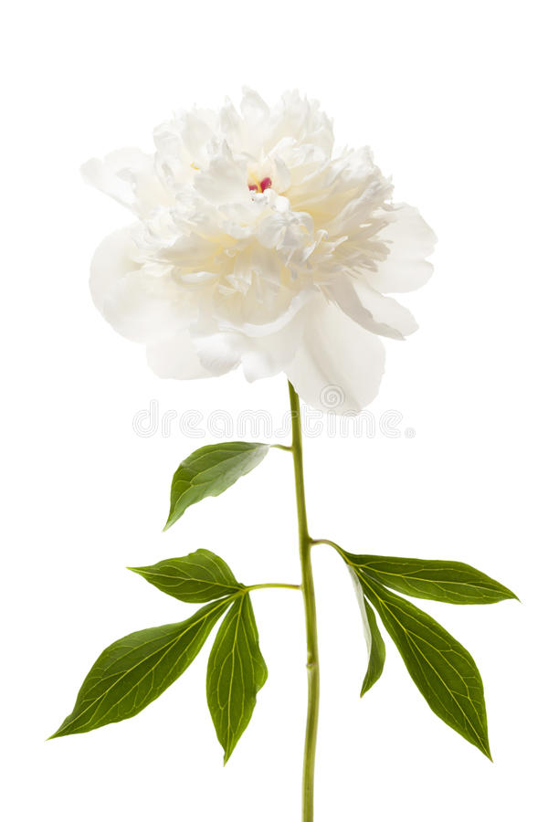 Isolated peony flower stock image