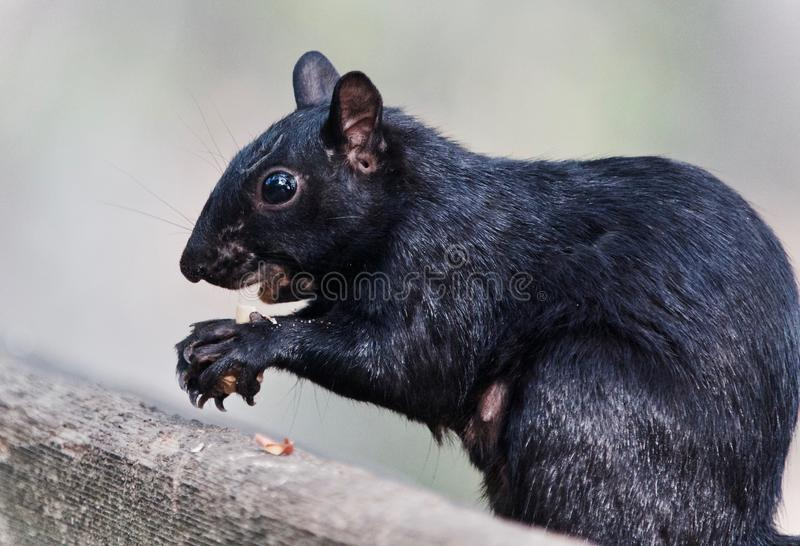 Isolated picture with a funny squirrel eating nuts. Photo of a funny squirrel eating nuts in forest stock image