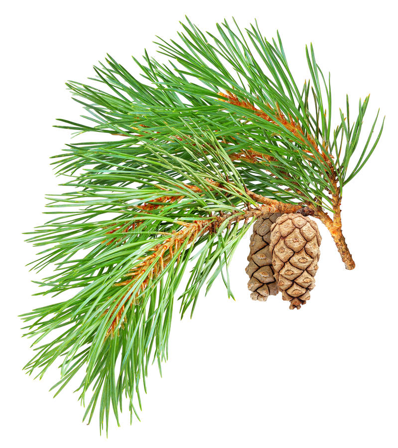 Free Isolated Pine Branch Stock Photo - 17064690