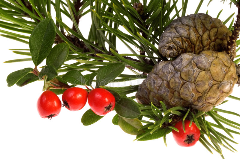Isolated pine branch with cones and berries royalty free stock photos