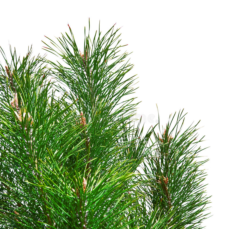 Download Isolated Pine Tree Branches Stock Image - Image: 11177761