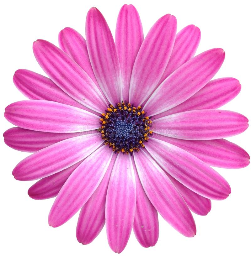 Isolated pink Cape Marguerite Daisy stock photography