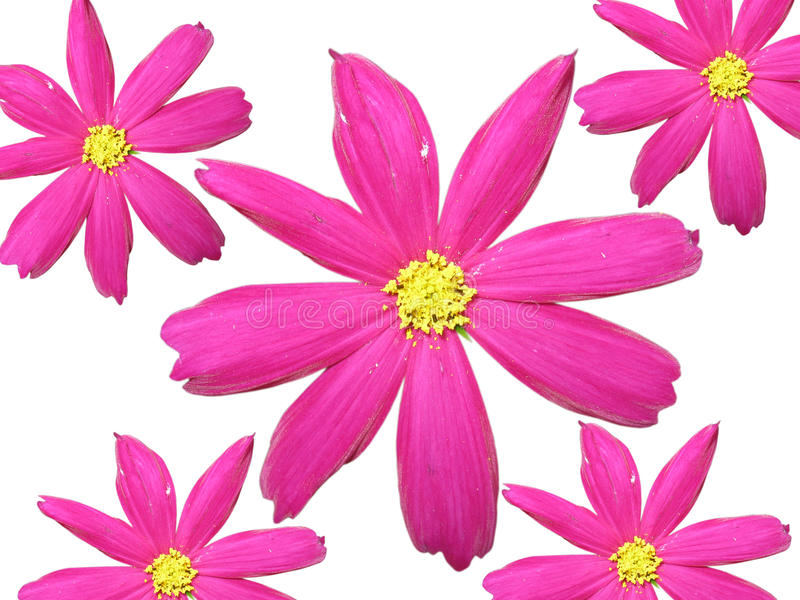 Download Isolated pink flowers stock photo. Image of romantic - 10908502