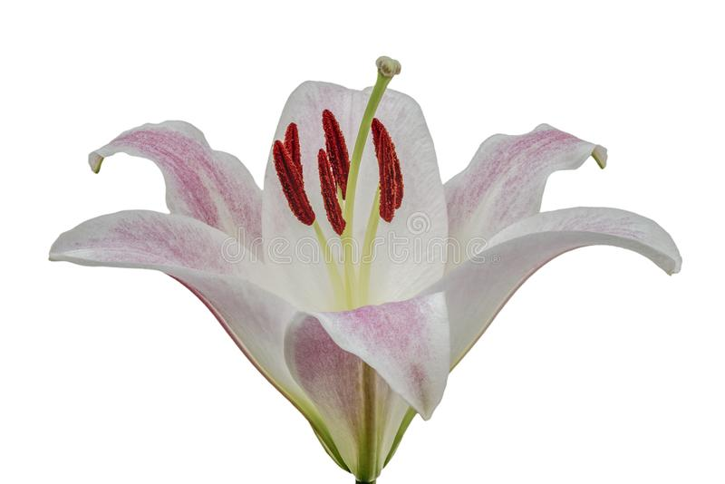 Isolated Pink Lily. Closeup view of a pink ly in full bloom on a white background royalty free stock photography