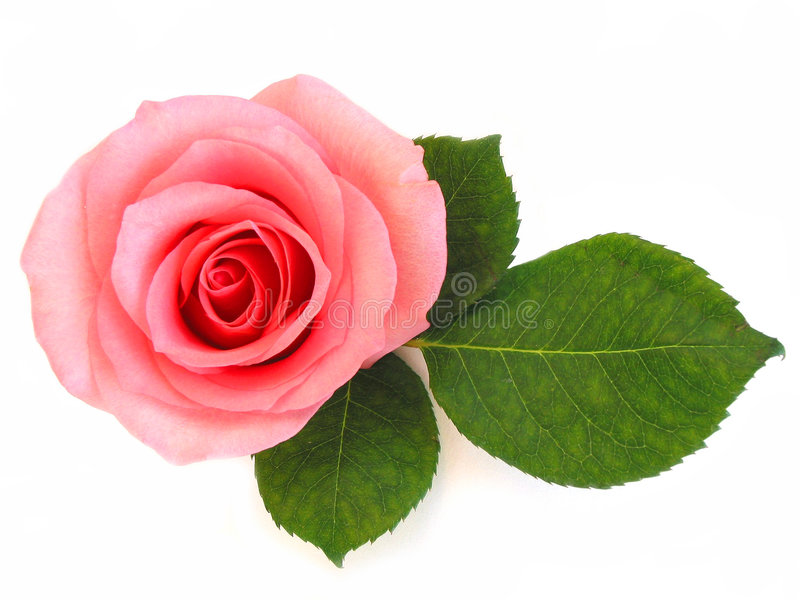 Isolated pink rose with green leaf royalty free stock photo