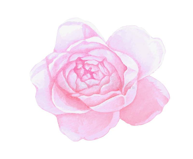 Isolated pink watercolor painting peony flower vector illustration