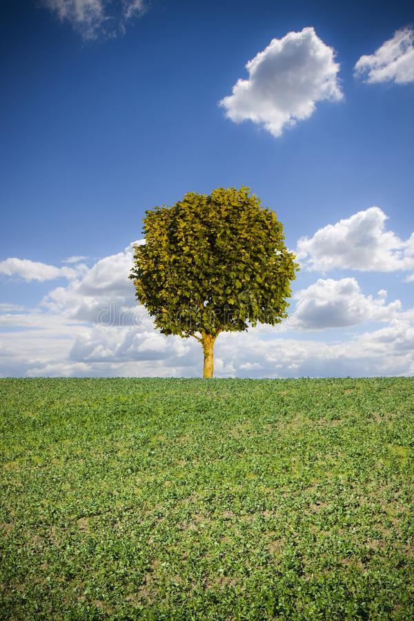 Isolated plane tree in a Tuscan hill with copy space stock image
