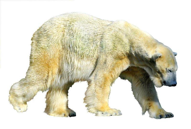 Isolated polar bear stock images