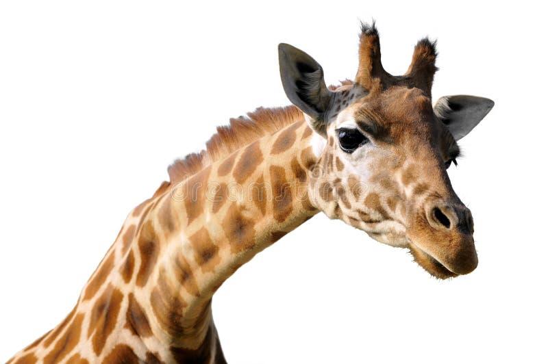 Isolated portrait of giraffe royalty free stock photo