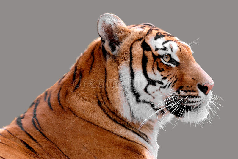 Isolated portrait of tiger. Profile portrait of tiger (Panthera tigris) isolated on grey background royalty free stock image