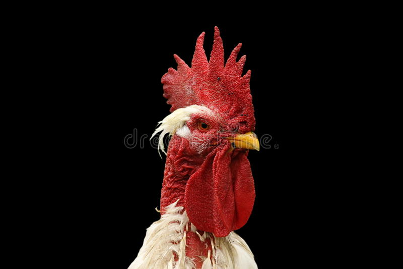 Isolated portrait of white rooster. Portrait of white rooster isolated on black background stock photos