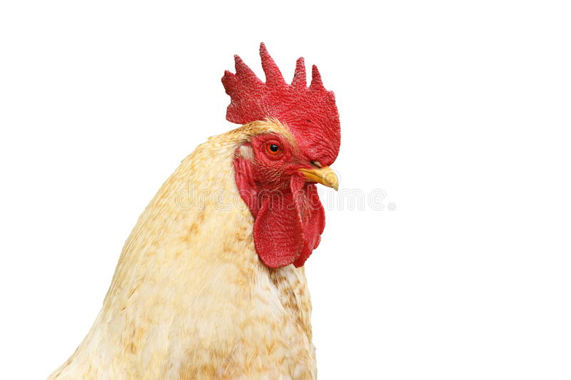 Isolated portrait of white rooster. Portrait of white rooster isolated over white background for your design stock images