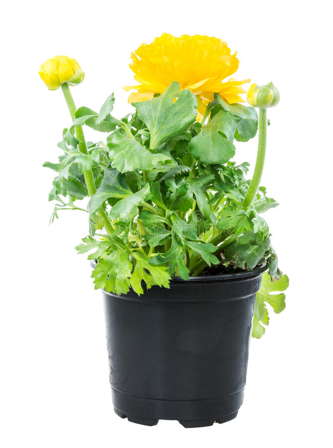 Free Isolated Potted Yellow Ranunculus Flower Stock Image - 70516211