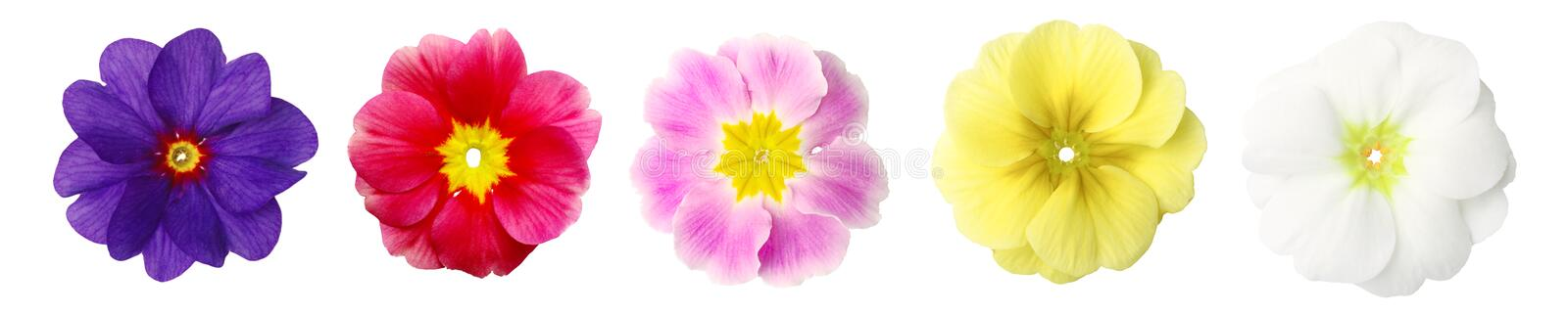 Isolated primroses in a row stock images