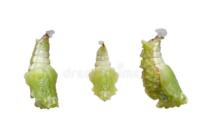 Isolated pupation to chrysalis of Tabby butterfly Pseudergolis stock photography
