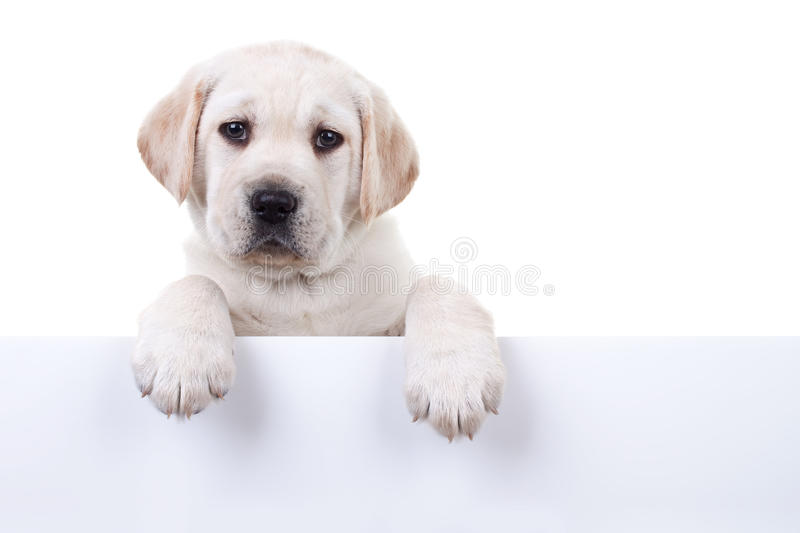 Isolated Dog White Sign. Labrador puppy dog above sign or banner, isolated on white