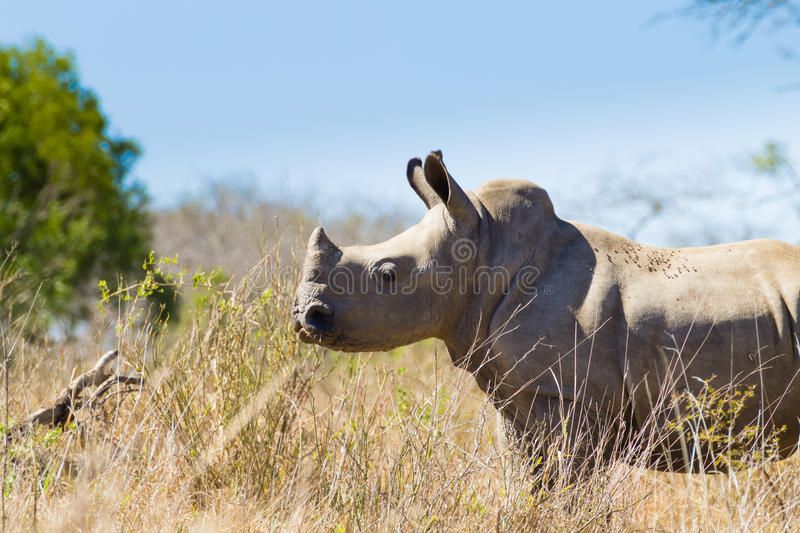 Isolated puppy rhinoceros, South Africa. Isolated puppy rhinoceros from Hluhluwe–Imfolozi Park, South Africa. African wildlife. Ceratotherium simum stock photo