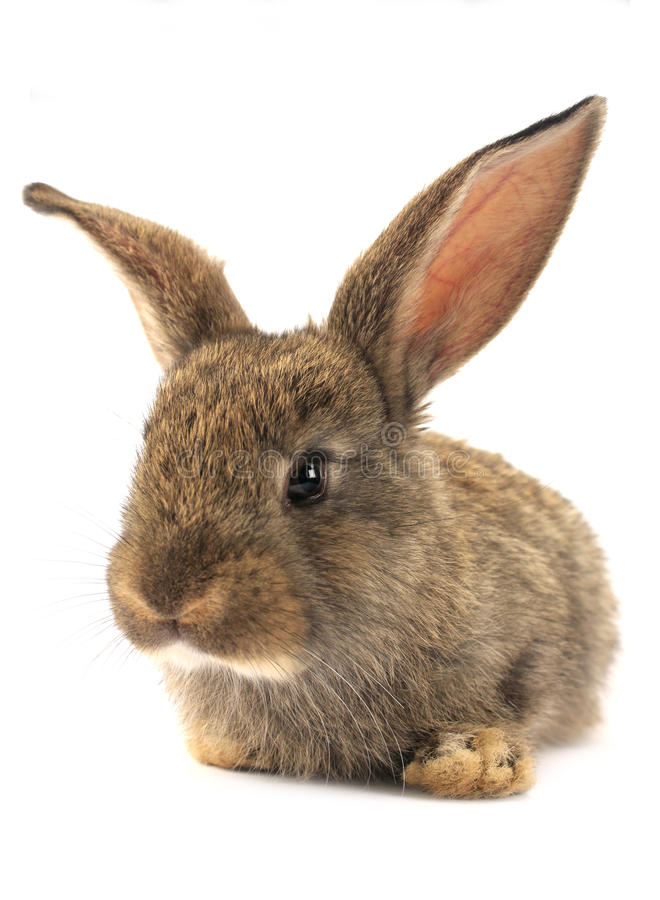 Isolated Rabbit royalty free stock photos
