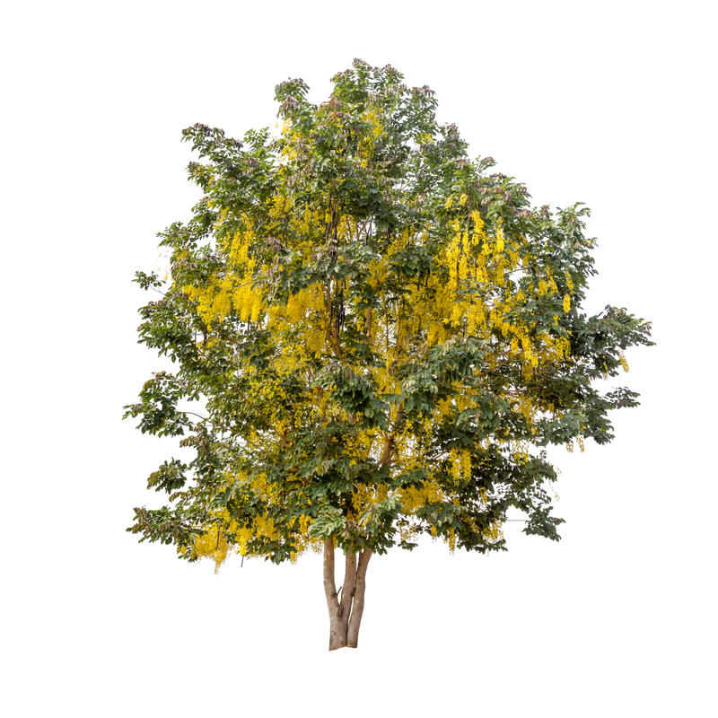 Free Isolated Rain Tree With Yellow Flower On White Background Royalty Free Stock Image - 72712136