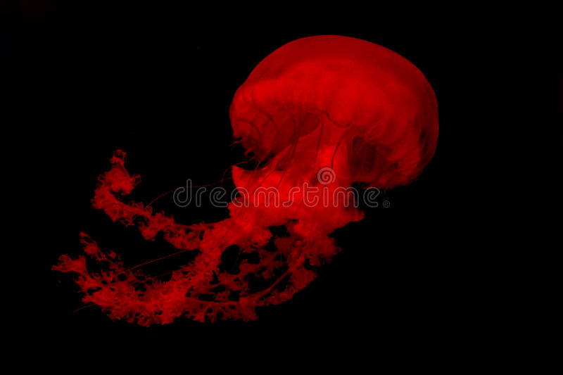 Isolated range jellyfish floating against a black background. Isolated range jellyfish swimming against a black background stock image