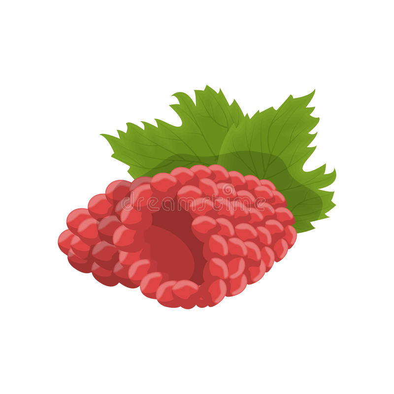 Isolated raspberry berry. royalty free illustration