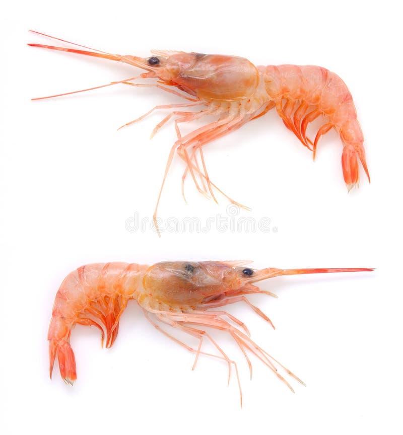 Isolated raw prawns stock image