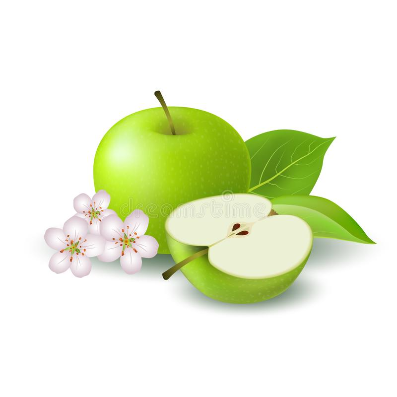 Isolated realistic colored green half apple and whole juicy fruit with white flower, green leaves and shadow on white background. vector illustration