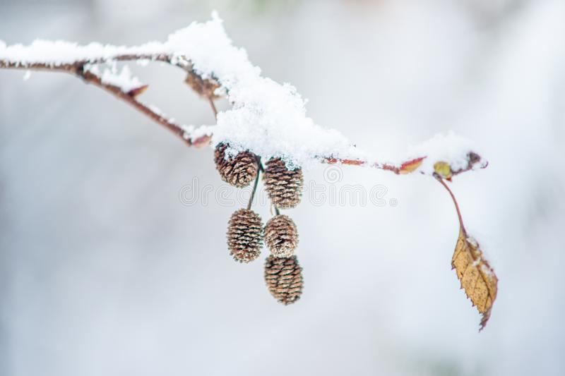 Alder Twig with Snow. Isolated red alder branch with leave and fruit capsules in winter, covered with fresh snow stock photo