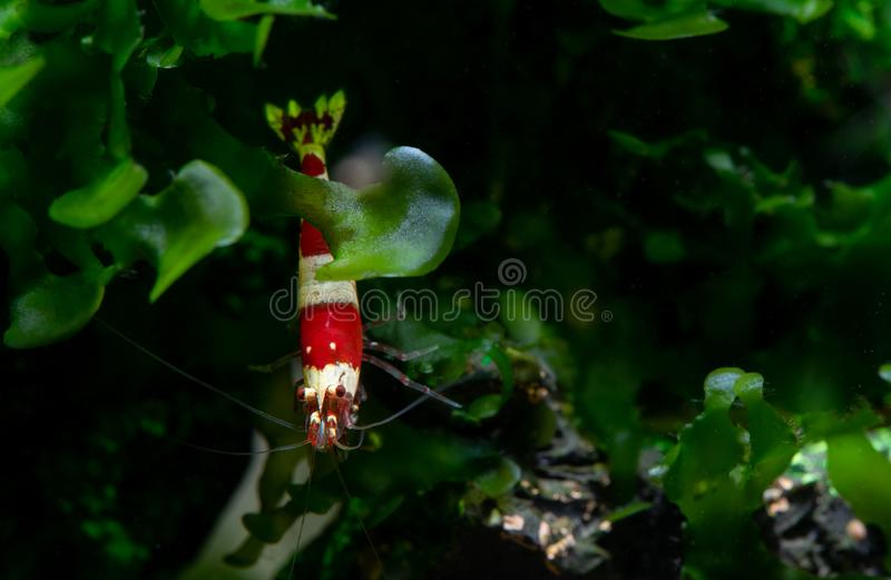 Isolated red bee shrimp stay behide aquatic moss with dark and green background royalty free stock image