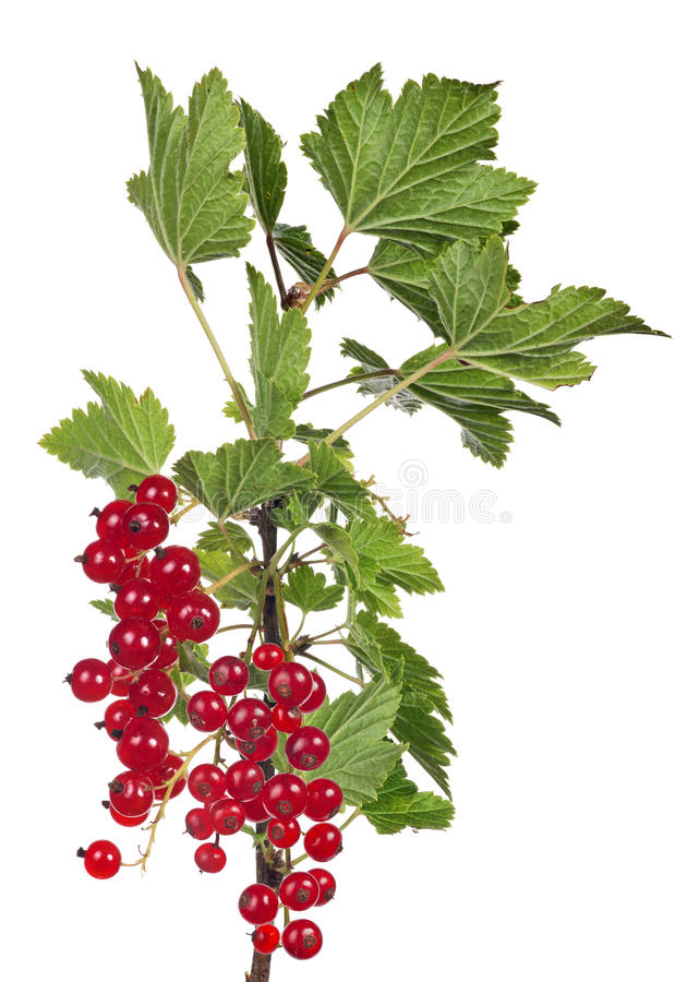 Isolated red currants berries on green branch. Red currants and green leaf isolated on white background royalty free stock photo