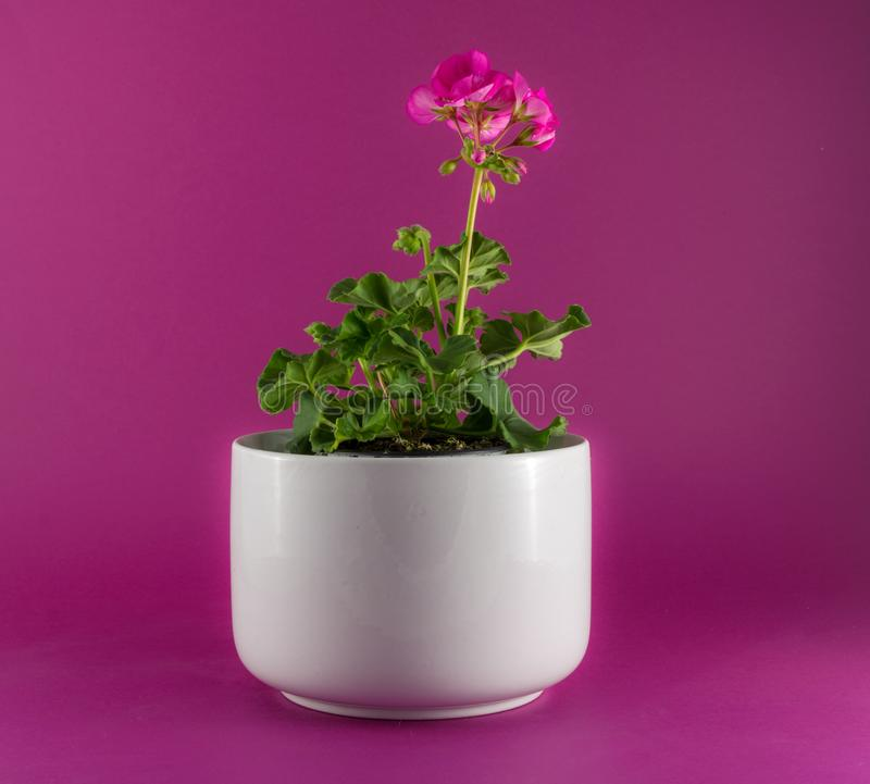 Isolated red geranium in a white vase stock photo