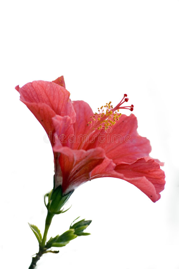 Isolated red hibiscus royalty free stock images