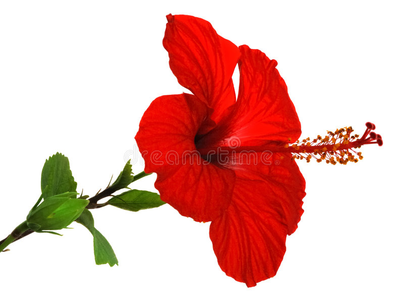 Download Isolated red hibiscus stock image. Image of garden, blue - 7847843