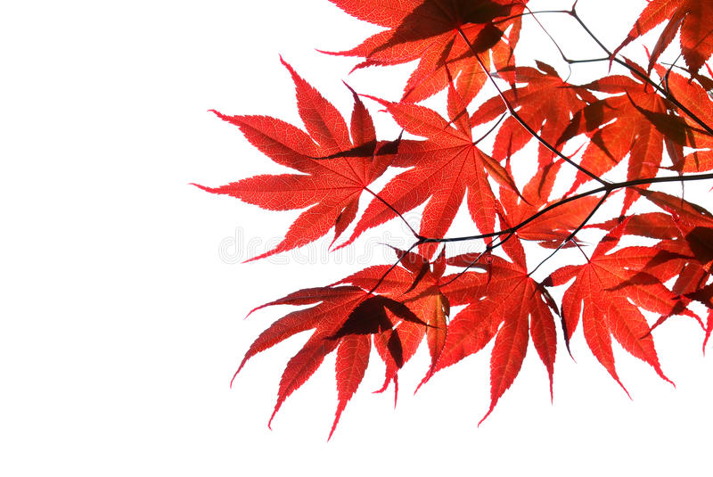 Isolated red japanese maple stock photo