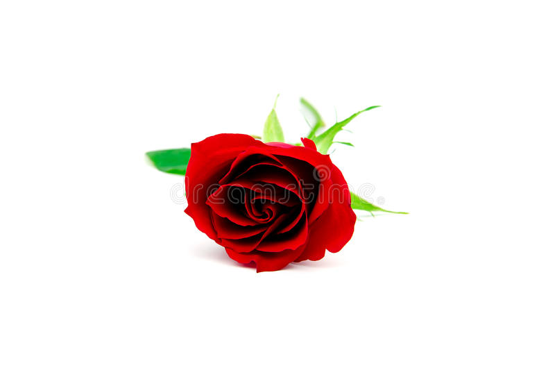 Isolated red rose stock images