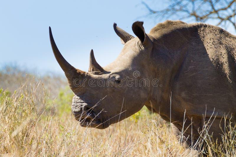 Isolated rhinoceros close up, South Africa. Isolated rhinoceros from Hluhluwe–Imfolozi Park, South Africa. African wildlife. Ceratotherium simum stock photo