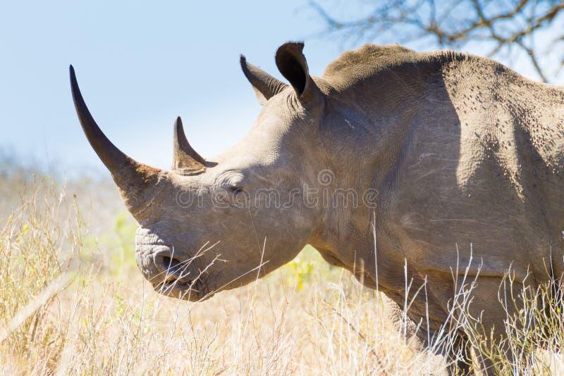 Isolated rhinoceros close up, South Africa. Isolated rhinoceros from Hluhluwe–Imfolozi Park, South Africa. African wildlife. Ceratotherium simum royalty free stock photos