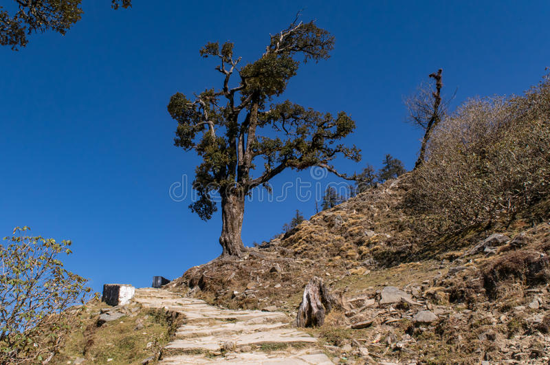 Isolated Rhododendron tree enroute to Chandrashila and Tungnath. Isolated Rhododendron tree on hiking trail of Chandrashila and Tungnath. Trail from Chopta royalty free stock image